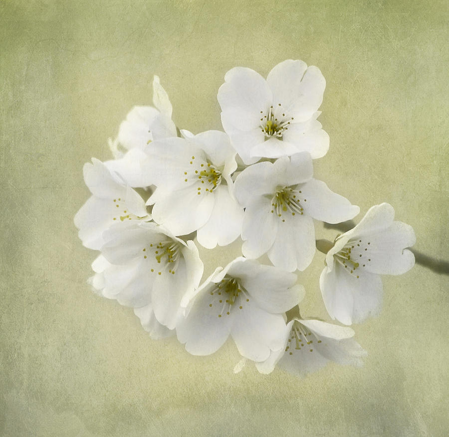 Flower Photograph - Dc Blossom by Kim Hojnacki