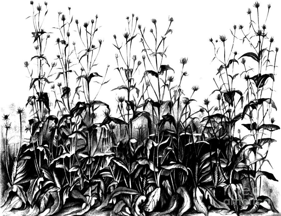 Science Photograph - De Vries Experimental Garden by Science Source