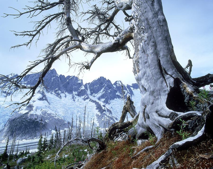 Aftermath Photograph - Dead Spruce In Old Forest Fire, Nabob by David Nunuk