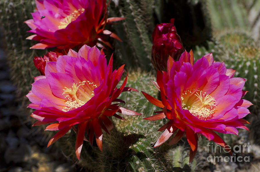 Deep pink cactus flowers photograph by jim and emily bush cactus photograph deep pink cactus flowers by jim and emily bush mightylinksfo Image collections
