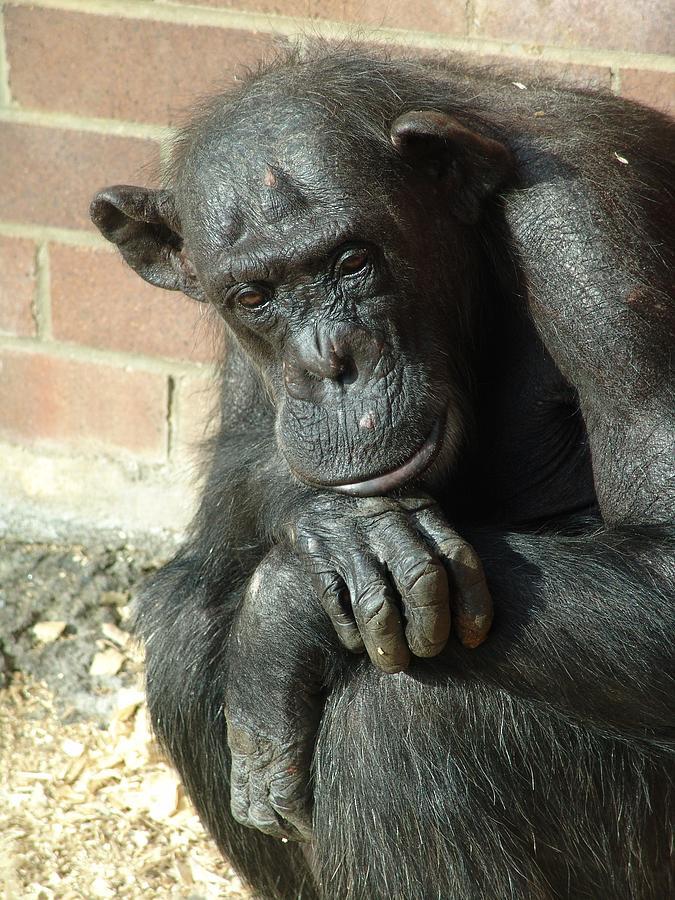 Black Gorilla Ponders Deep Thoughts Photograph