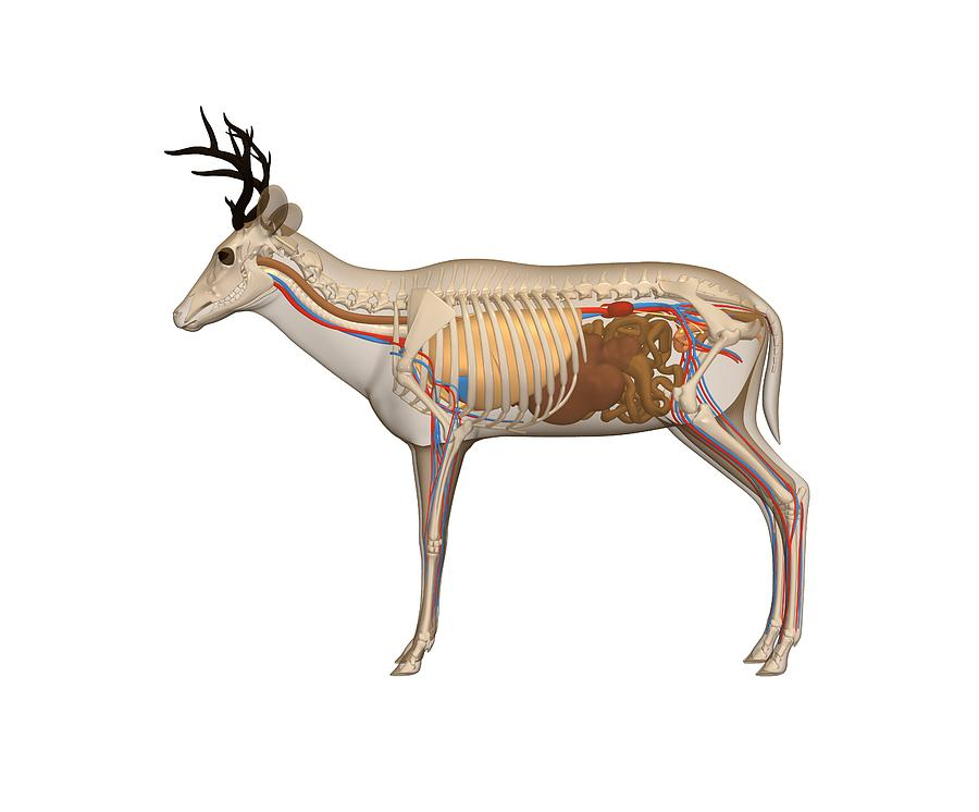 Deer Anatomy, Artwork Photograph by Friedrich Saurer