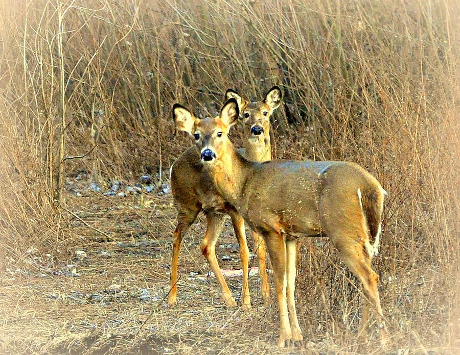Deer Photograph - Deer Duo by Marty Koch