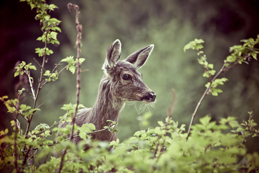 Horizontal Photograph - Deer In Forest by Christopher Kimmel