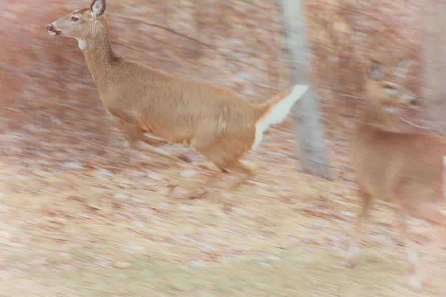 Deer Photograph - Deer On The Run by Karol Livote