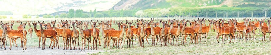 Deer Photograph - Deers by MotHaiBaPhoto Prints