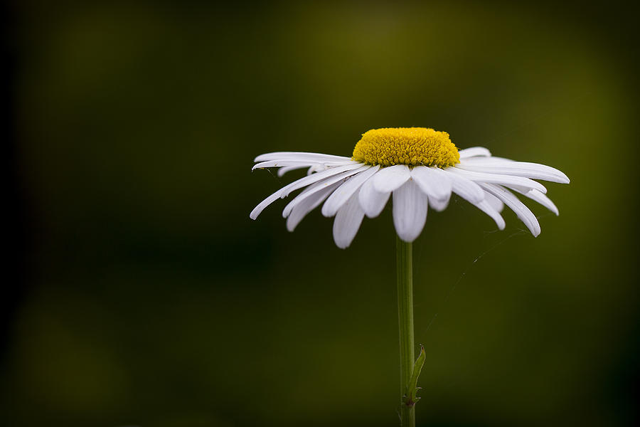 Leucanthemum Photograph - Defiant Daisy by Clare Bambers