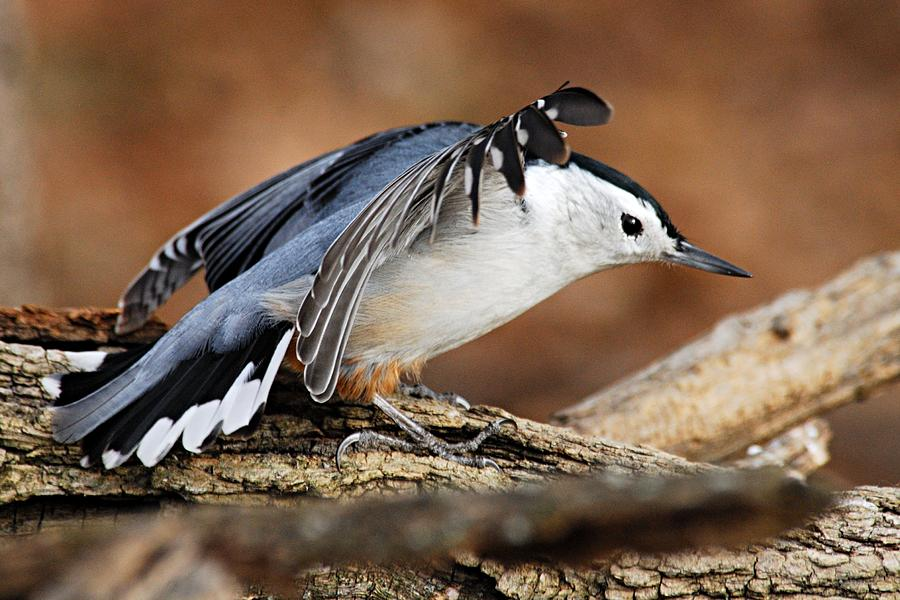 Photography Photograph - Defiant Nuthatch by Larry Ricker