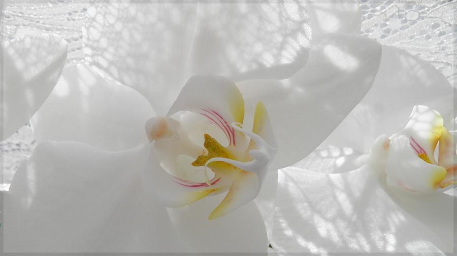 Delicate... Photograph by Halina Nechyporuk