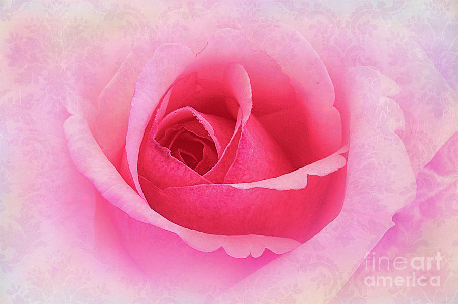 Rose Photograph - Delicate by Judi Bagwell