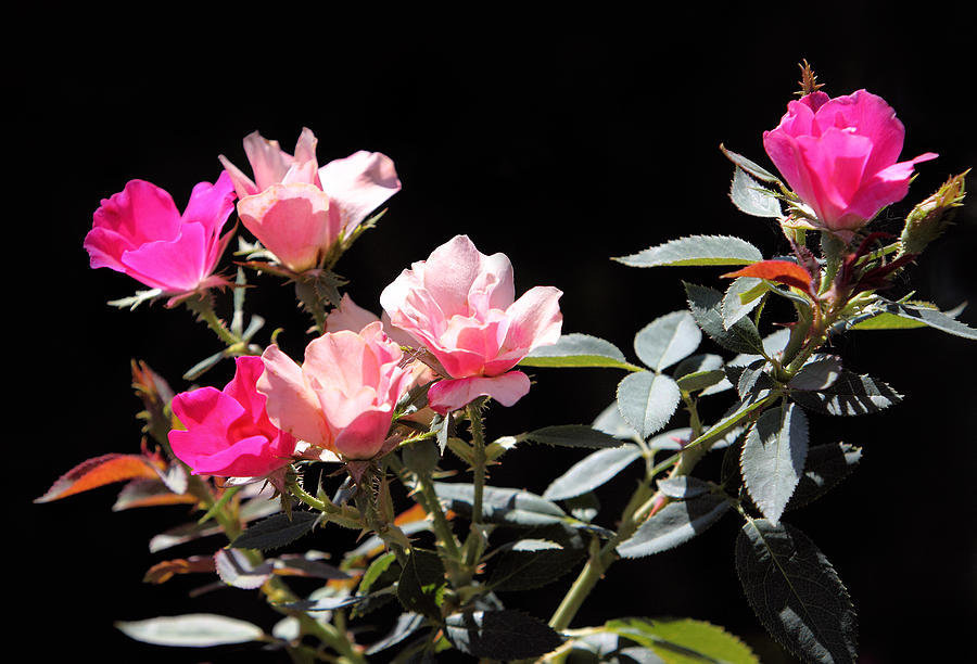 Plant Photograph - Delicate Old Fashion Pink Roses by Linda Phelps