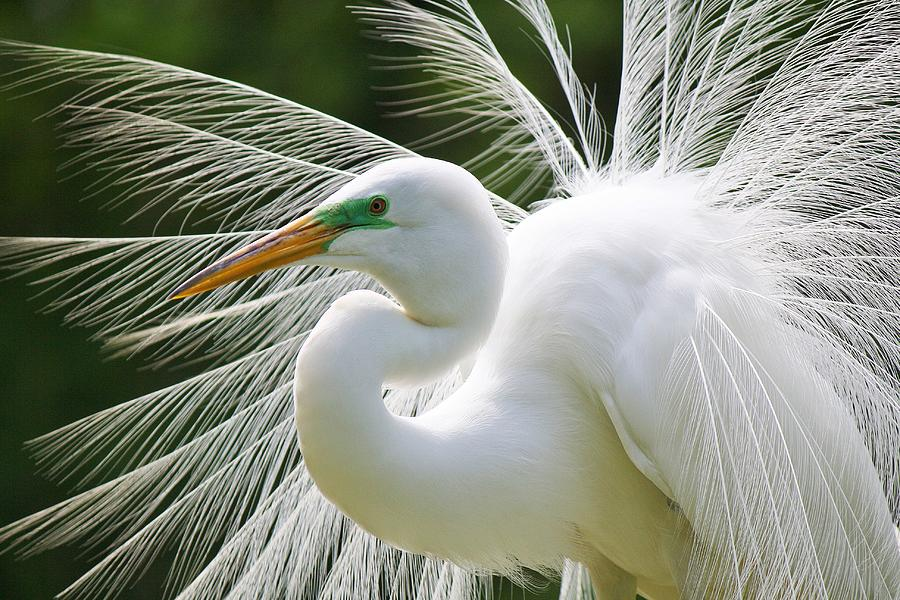 Great White Egret Photograph - Delicate by Paulette Thomas