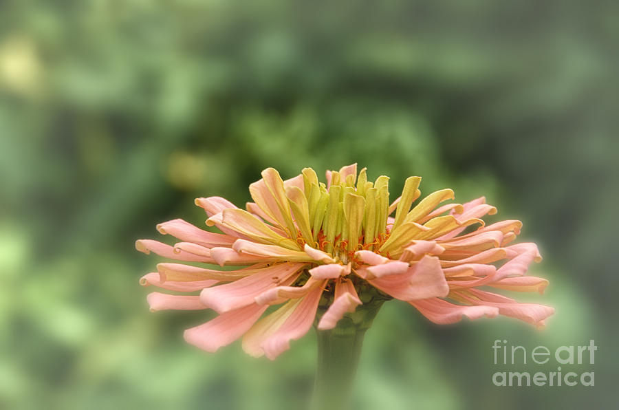 Zinia Photograph - Delicate Pedals by Tamera James