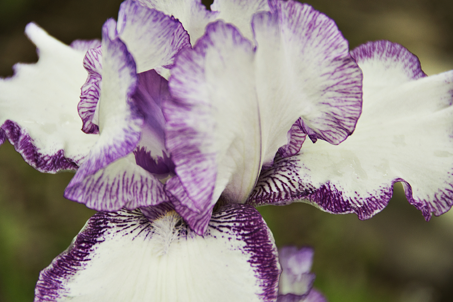 Iris Photograph - Delicate Ruffles 1 by Angelina Tamez
