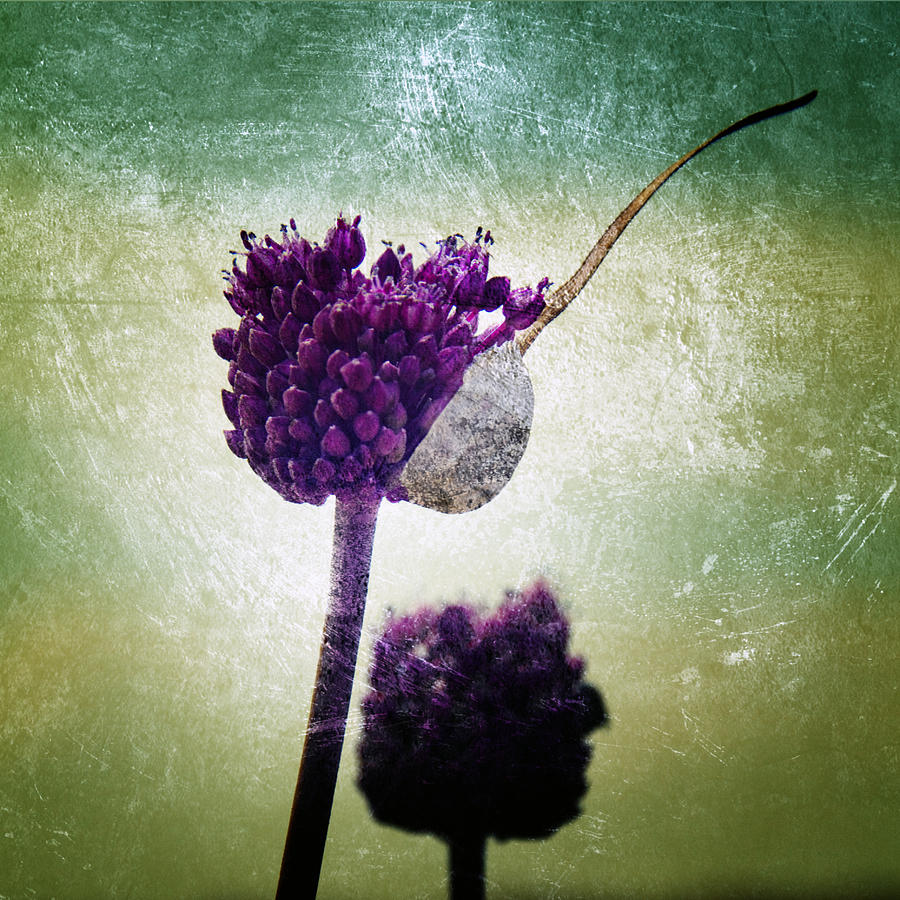 Allium Photograph - Delicate by Stelios Kleanthous
