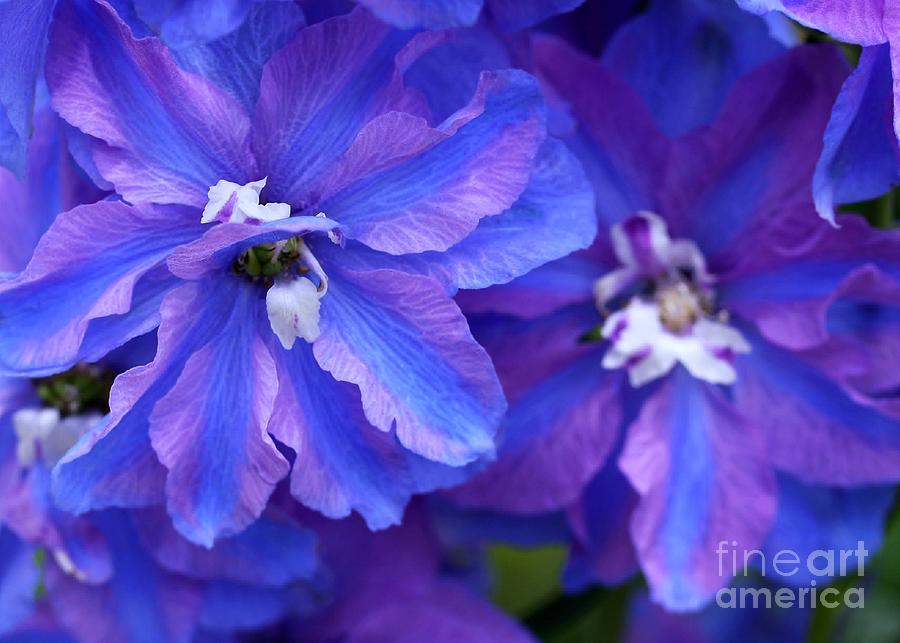 Flower Photograph - Delightful Delphinia Flowers by Sabrina L Ryan