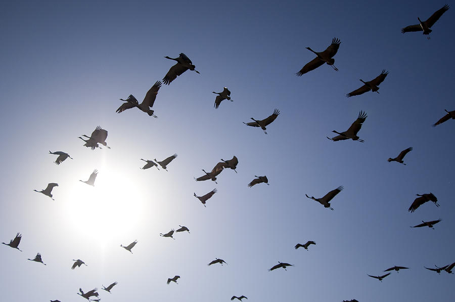 Horizontal Photograph - Demoiselle Cranes (anthropoides Virgo) Group Of Birds Flying, In Khichan, Rajasthan, India by Berndt Fischer