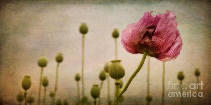Papaver Photograph - Depth Of Poppy Field by Priska Wettstein