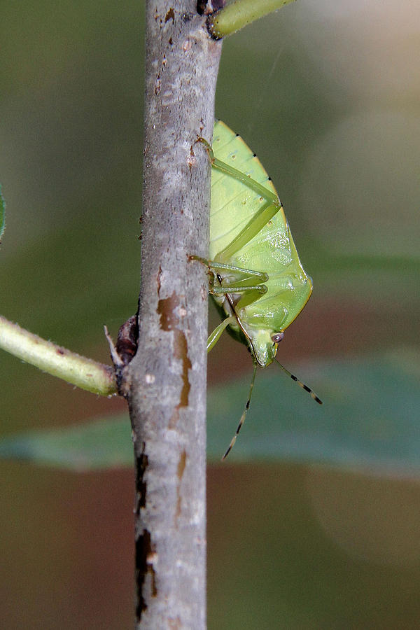 Green Stink Bug Photograph - Descent Of A Green Stink Bug by Doris Potter