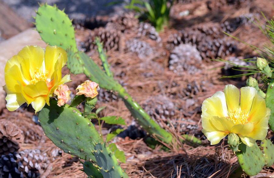 Catus Photograph - Desert Flower  by Tanya Tanski