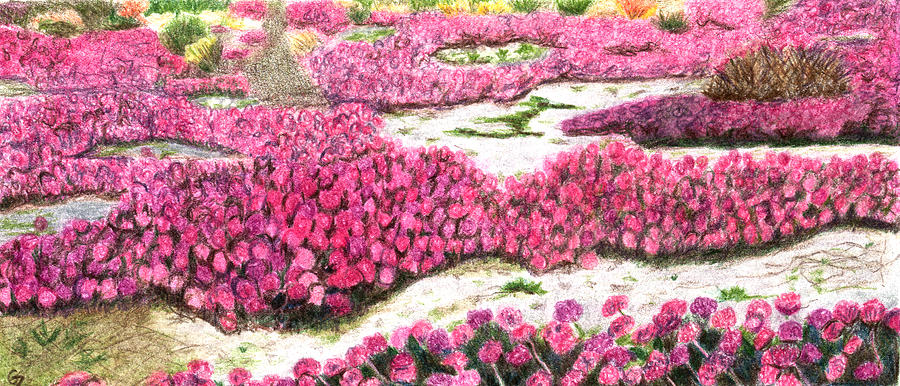 Desert Flowers Drawing By Glenda Zuckerman