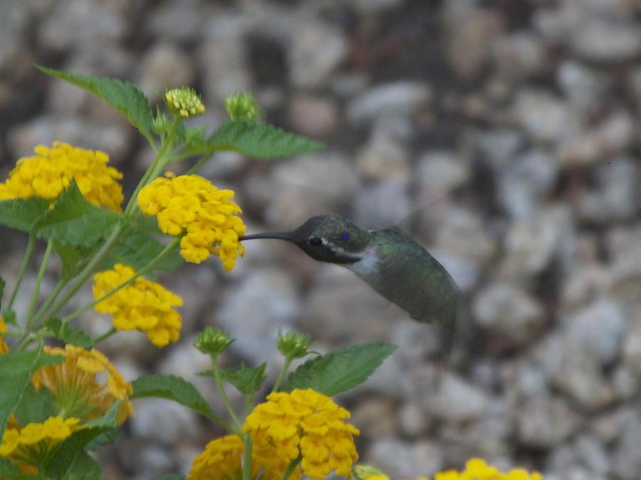 Hummingbird Photograph - Desert Hummingbird by Dietrich Sauer