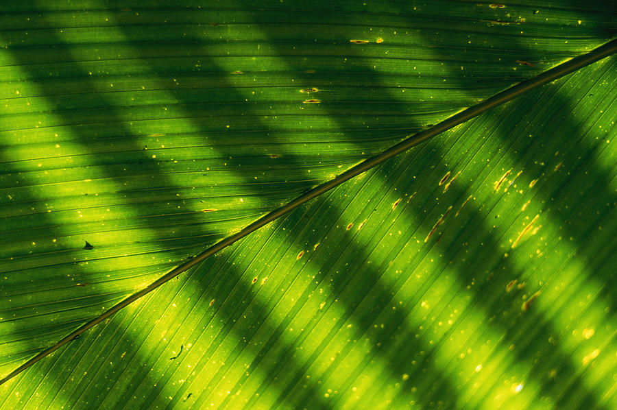 Africa Photograph - Detail Of A Large Leaf With Shadows by Bill Curtsinger