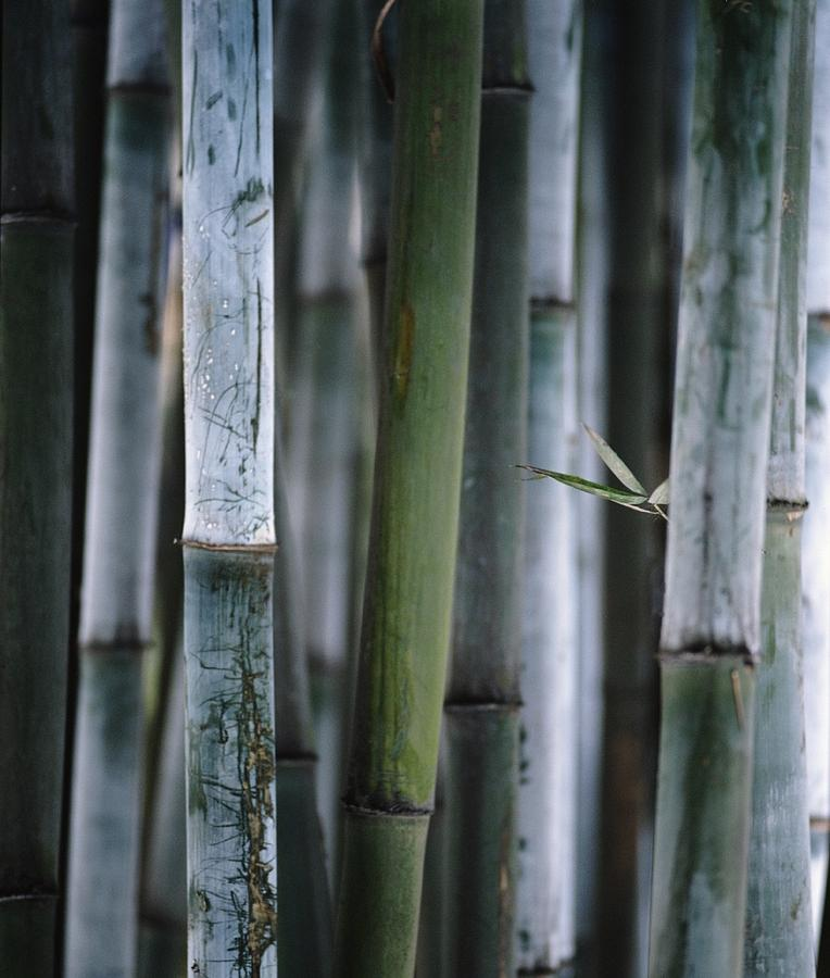 Vertical Photograph - Detail Of Green Bamboo In Bamboo Park by Axiom Photographic