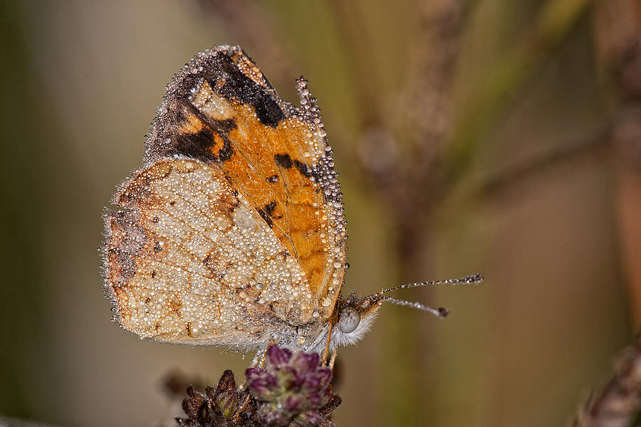 Dew Drenched Butterfly Photograph - Dew Drenched Pearl Crescent Butterfly by Bonnie Barry