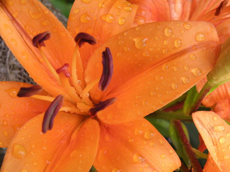 Floral Photograph - Dew On The Lilies by Karen Jordan