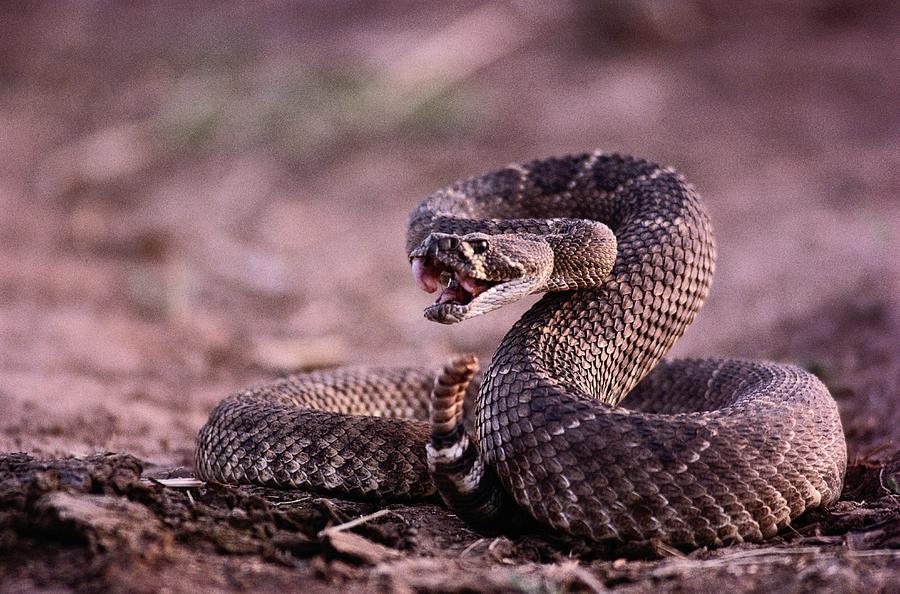 Diamondback Rattlesnake Crotalus Photograph by Joel Sartore Western Diamondback Rattlesnake Striking