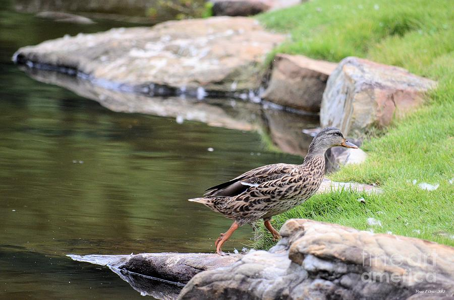 Diary Photograph - Diary Of A Mad Brown Duck by Maria Urso