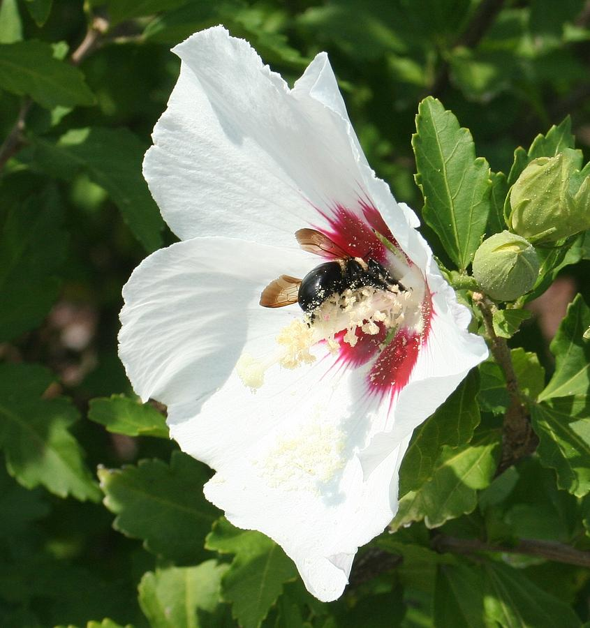 Bumble Bee Photograph - Dig In by Barbara S Nickerson