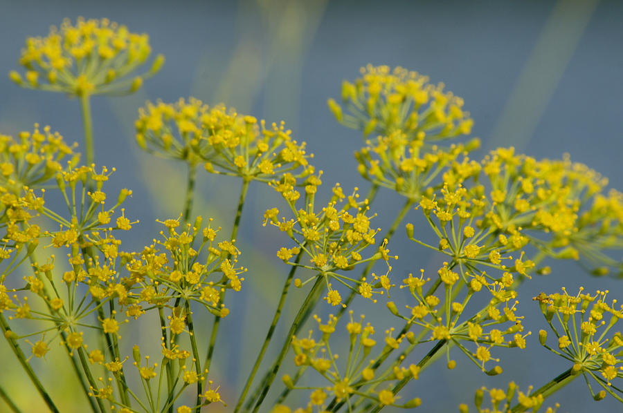 Herbs Photograph - Dill by Lisa Tate