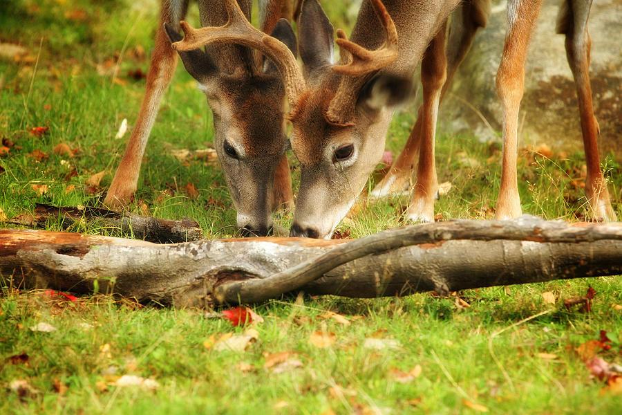Deer Photograph - Dining Together by Karol Livote