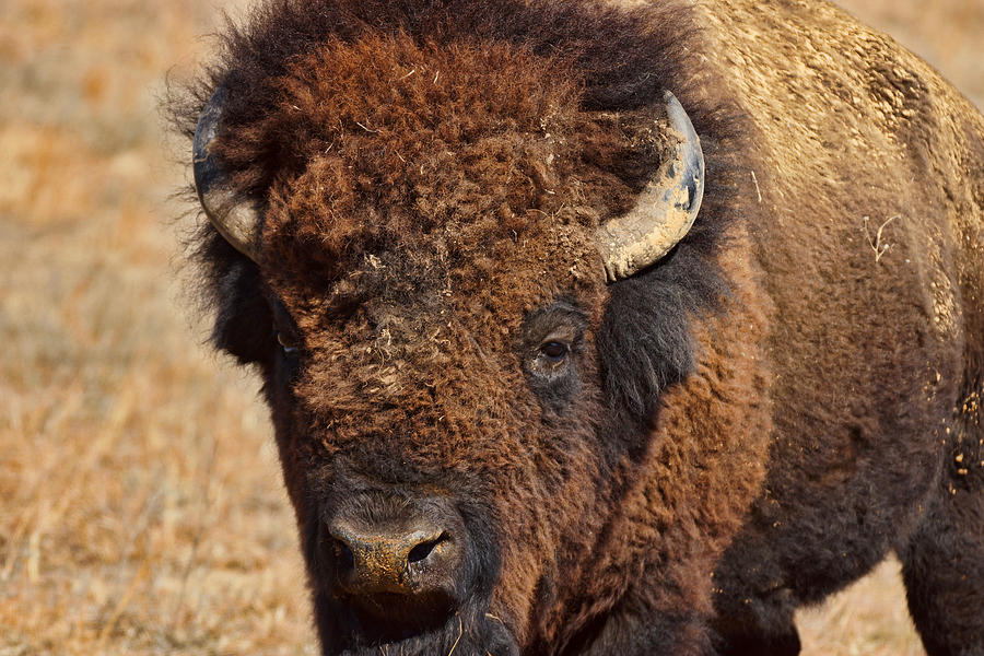 Bison Photograph - Dirty Nose by Alan Hutchins