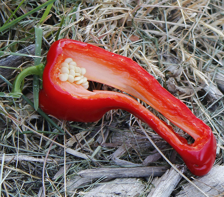 Red Photograph - Discarded Pepper by Katy Irene