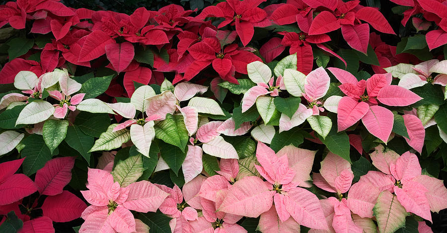 Display Of Multi Colored Poinsettias By Kathleen Nelson
