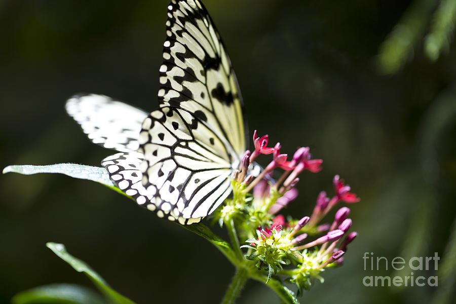 Butterfly Photograph - Diva  by Leslie Leda
