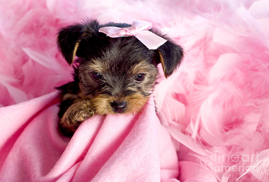 Diva Puppy Photograph by Cheryl Davis