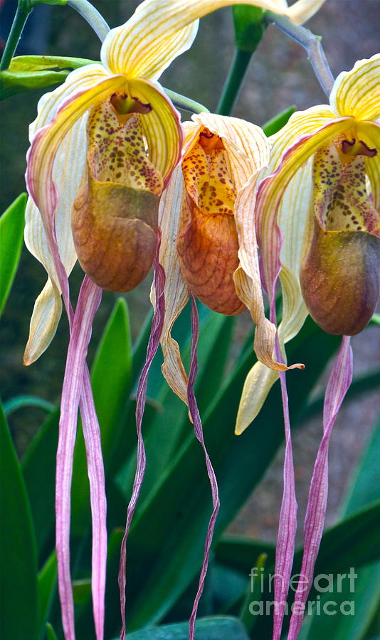 Orchids Photograph - Divas by Byron Varvarigos