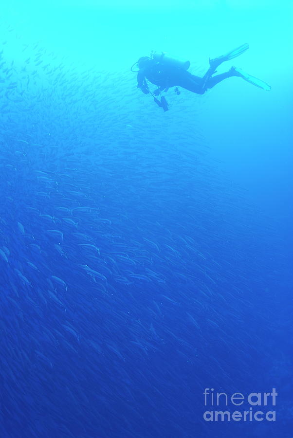 People Photograph - Diver By School Of Pelican Barracudas by Sami Sarkis