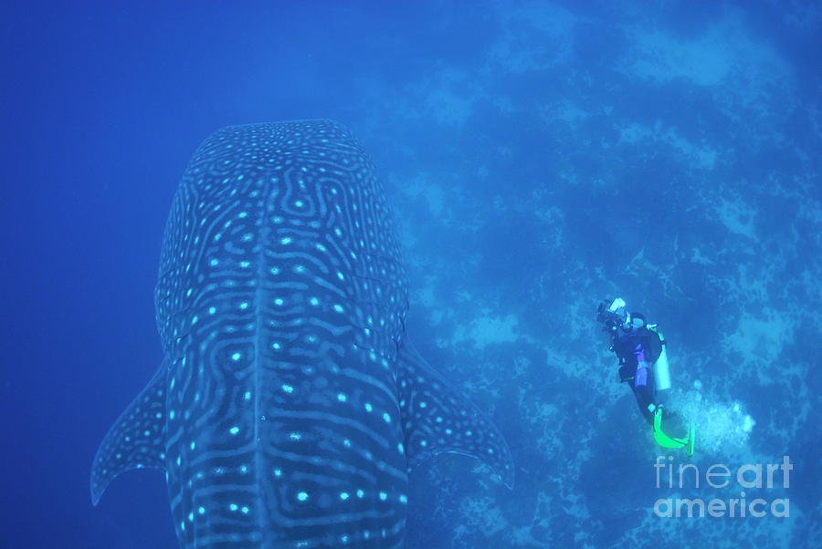 People Photograph - Diver Filmming A Whale Shark by Sami Sarkis