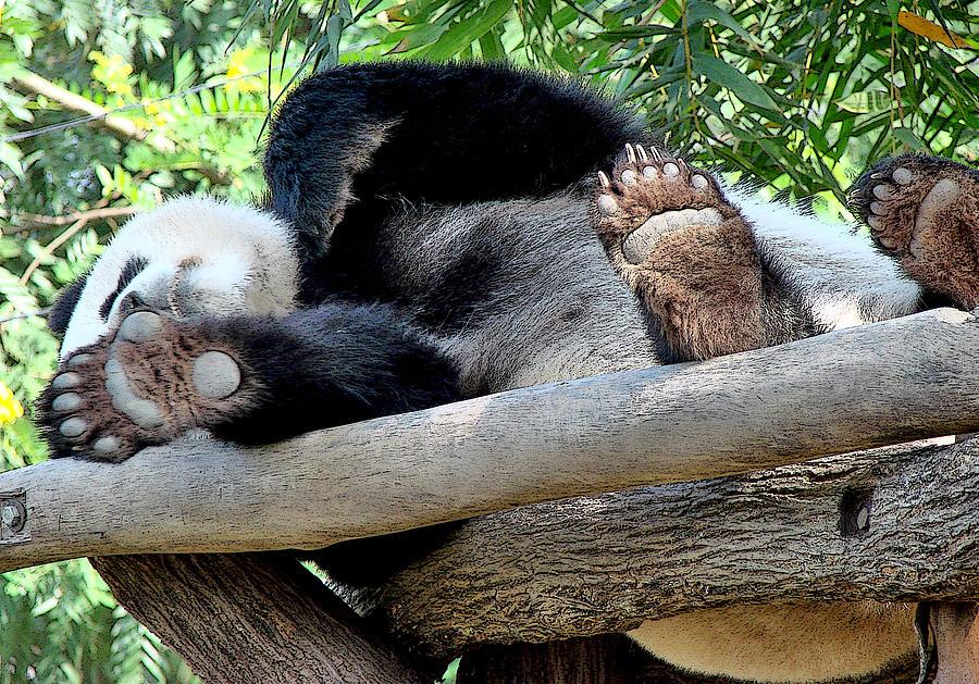Panda Bear Images Photograph - Do Not Disturb by Roy Foos