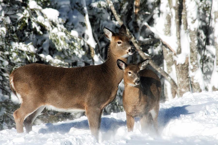 Wildlife Photograph - Doe A Deer by Nancy Dempsey