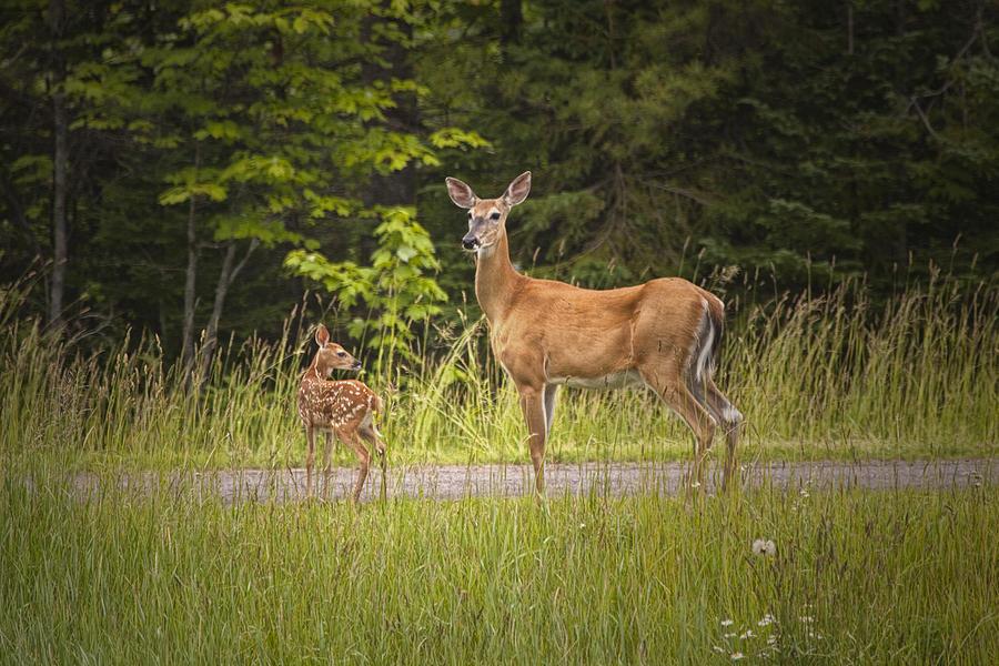 Doe And Fawn Along A Roadside Near Iron Mountain Michigan ...