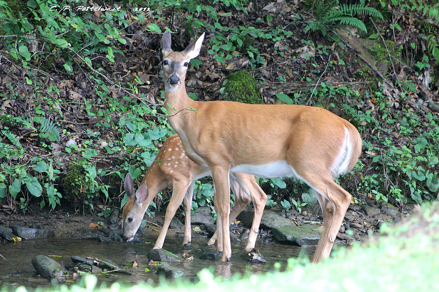Deer Photograph - Doe And Fawn In The Creek by Carolyn Postelwait