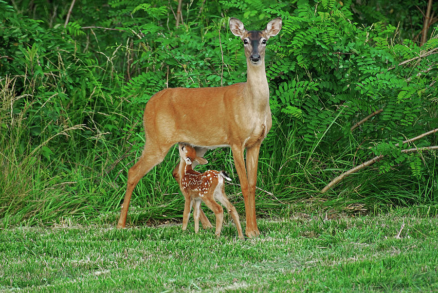 Doe Photograph - Doe And Nursing Fawn by Fred Kirchhoff