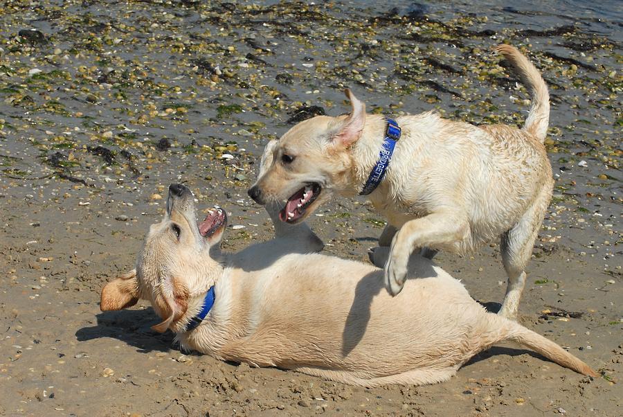 Labrador Retriever Photograph - Dog 76 by Joyce StJames