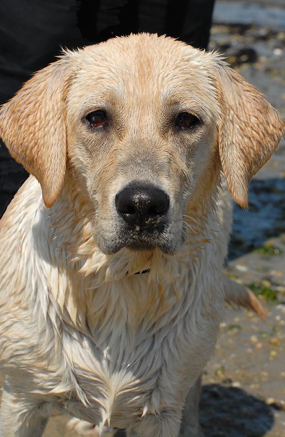 Labrador Retriever Photograph - Dog 77 by Joyce StJames